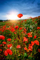 "poppies, poppy, flower, sunset, landscape,""northumbrian images"", northumberland, alnmouth, northumbrian"