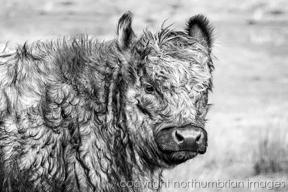 Young Galloway Calf