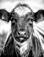 "calf, cow, ""black & white"", ""northumbrian images"", northumbrian, northumbria, northumberland, portrait"