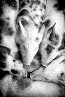 piglets in black & white